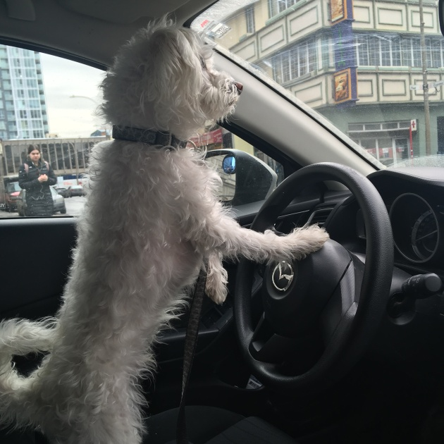 Bau driving the car